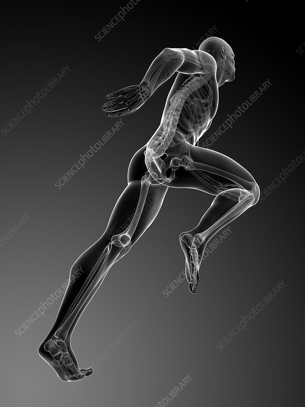 Human anatomy running, artwork