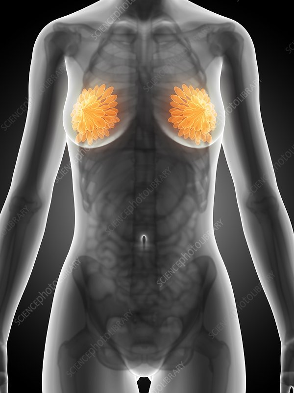 Female mammary glands, artwork
