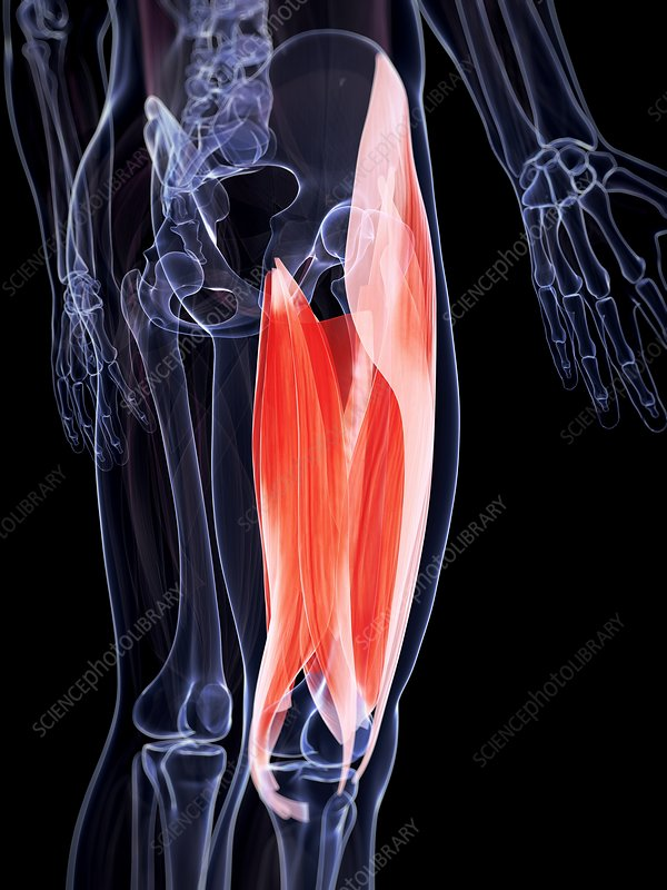 Human upper leg muscles, artwork