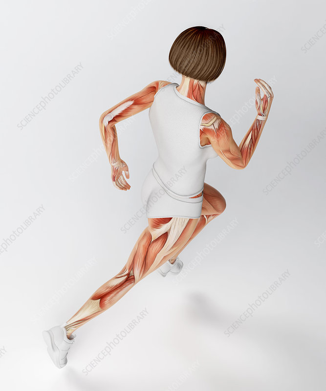 Muscular system of runner, artwork