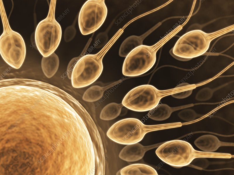 Human sperm and egg, artwork