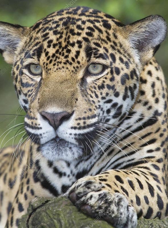 adult male jaguar, san jose, costa rica - stock image - f009/7822