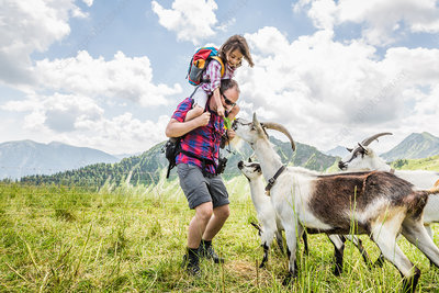Man carrying daughter, looking at goats