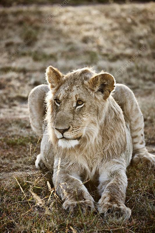 Alert lioness, Masai Mara, Kenya