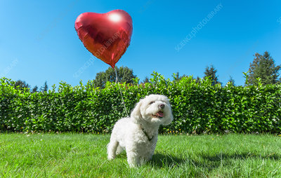 Dog attached to heart shaped balloon
