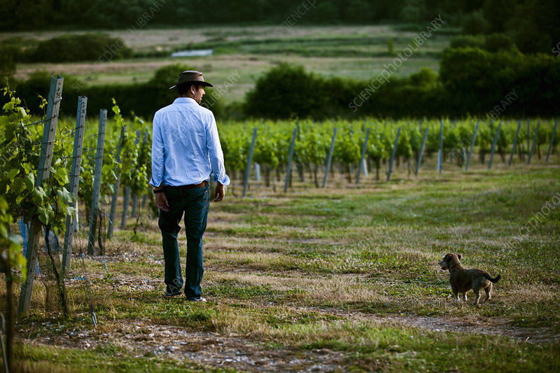 Man and dog in vineyard