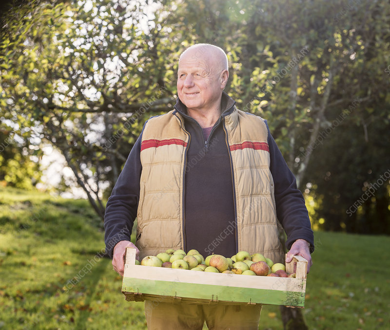 Senior man carrying crate of apples