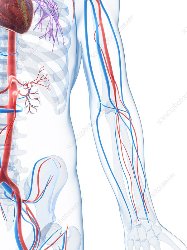Vascular system of the arm, artwork