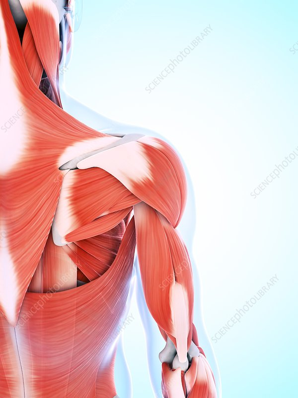 Human muscular system of the shoulder
