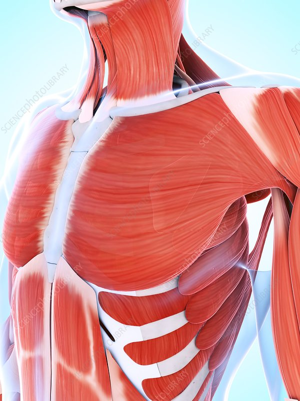 Human muscular system of the chest