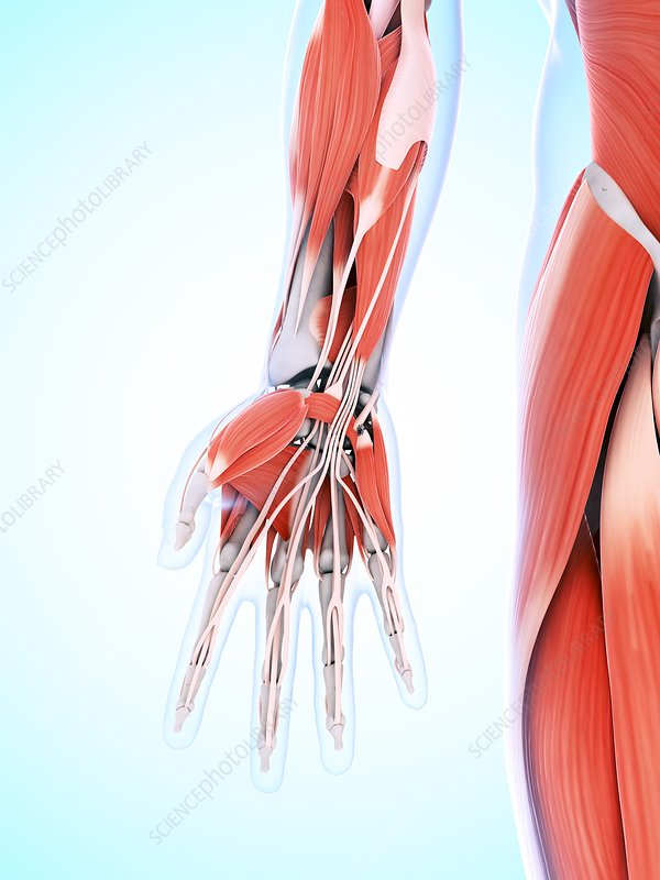 Human hand muscles, artwork