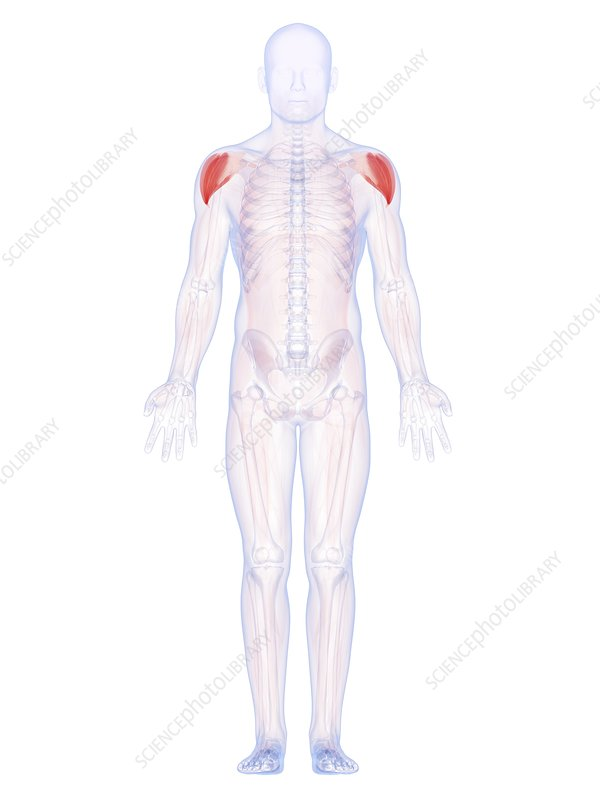 Human shoulder muscles, artwork