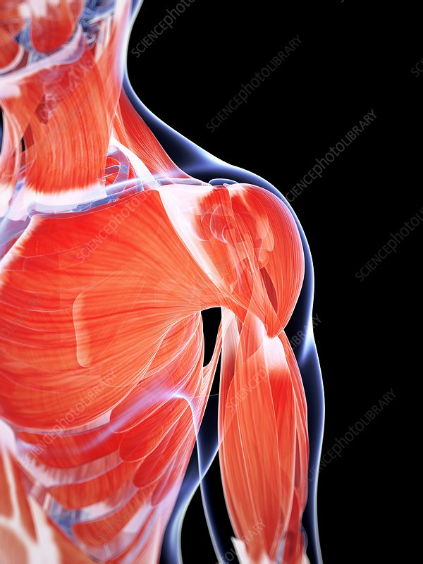 Human chest and shoulder muscles, artwork