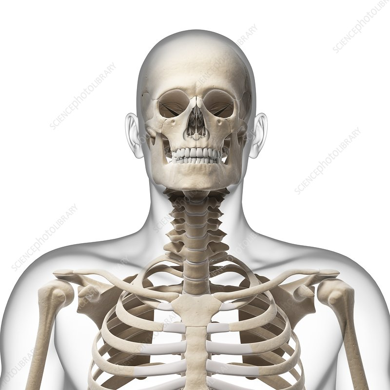 human skull and neck bones, artwork - stock image f010/1782, Skeleton