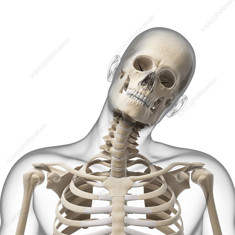 Human Skull And Neck Bones Artwork Stock Image F0101783