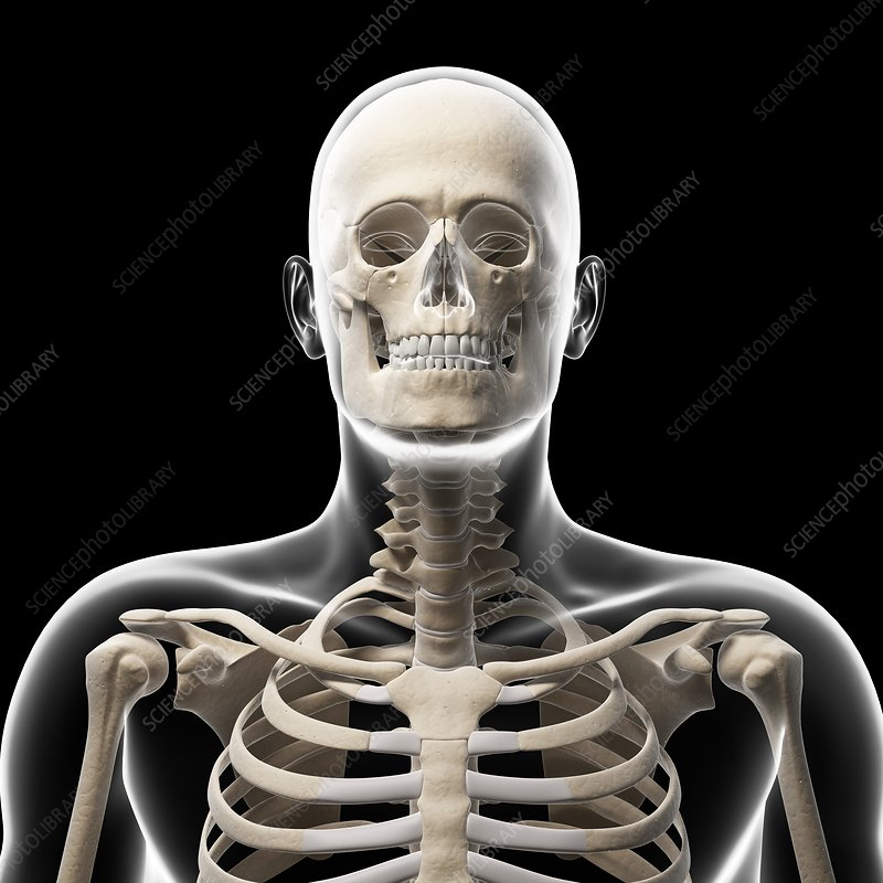Human skull and neck bones, artwork - Stock Image F010/1785 ...