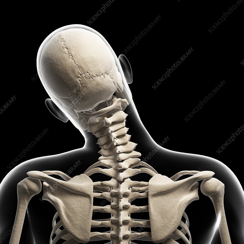 Human skull and neck bones, artwork - Stock Image F010/1791 ...