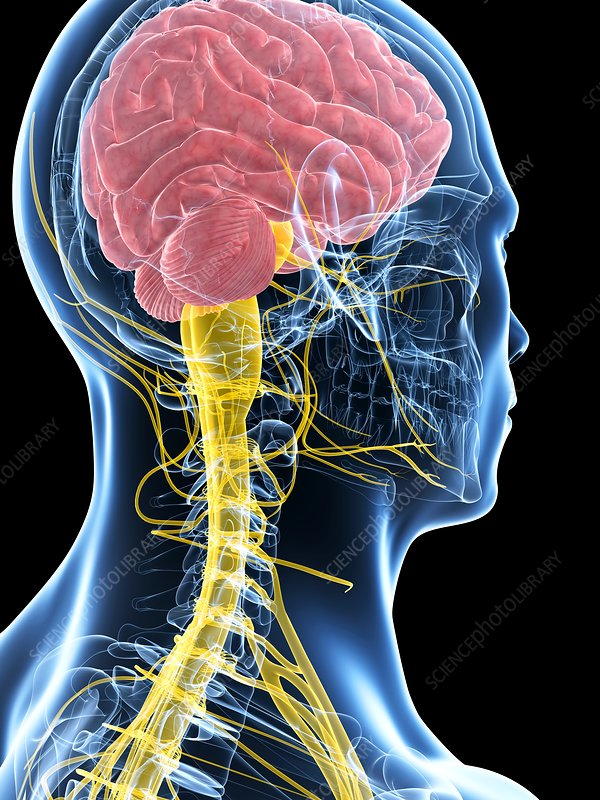Human brain and spinal cord, artwork - Stock Image - F010 ...