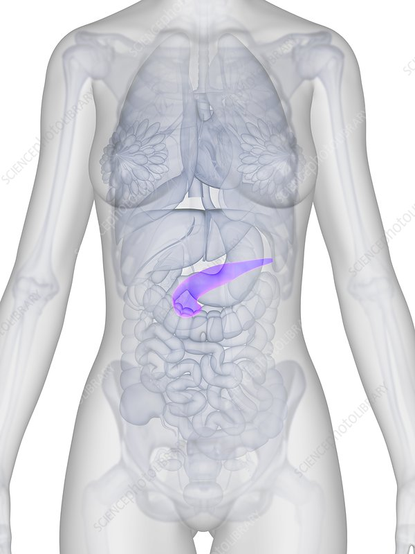 Female pancreas, artwork