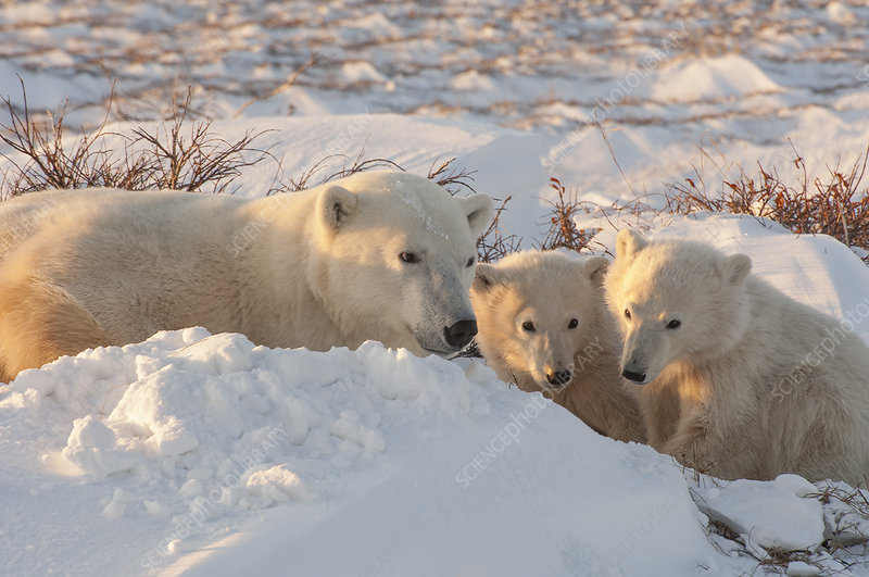 A polar bear group in the wild