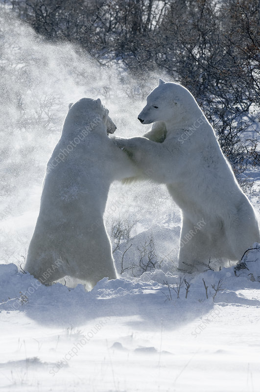 Two polar bears wrestling each other