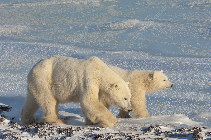 Two polar bears on a snowfield at sunset