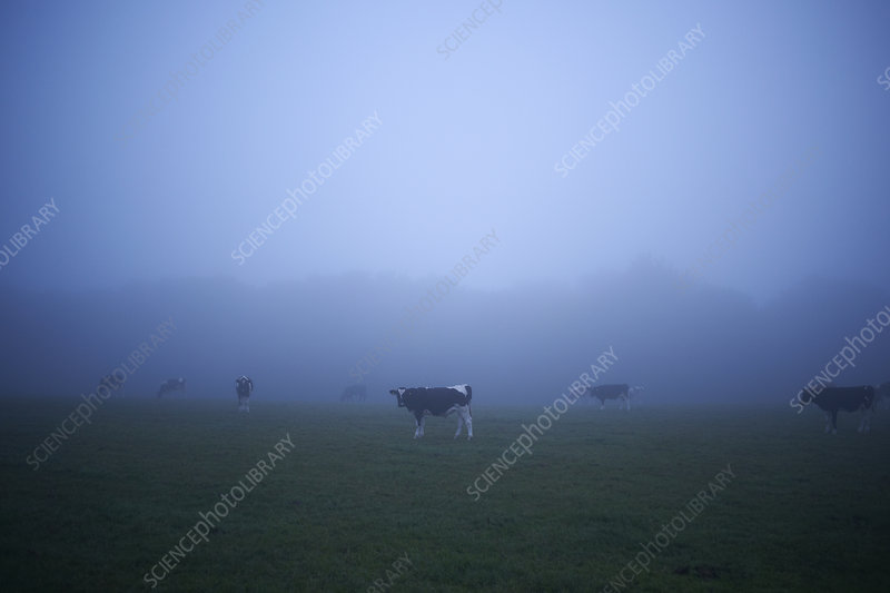 Misty field with grazing cows