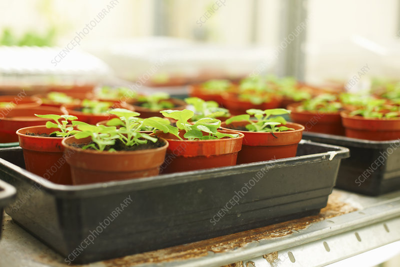 Trays of plants in scientific laboratory