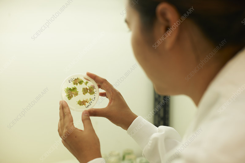Scientist examining plant sample