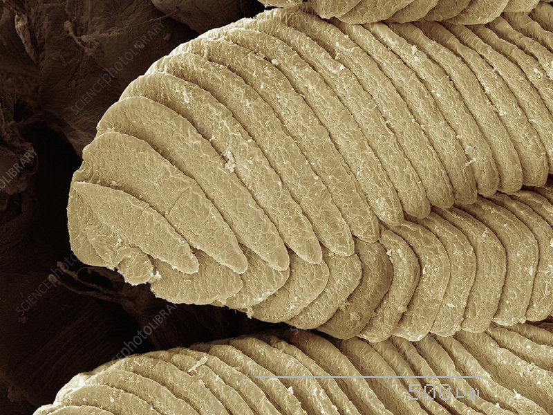 Coloured SEM of shore shrimp gills