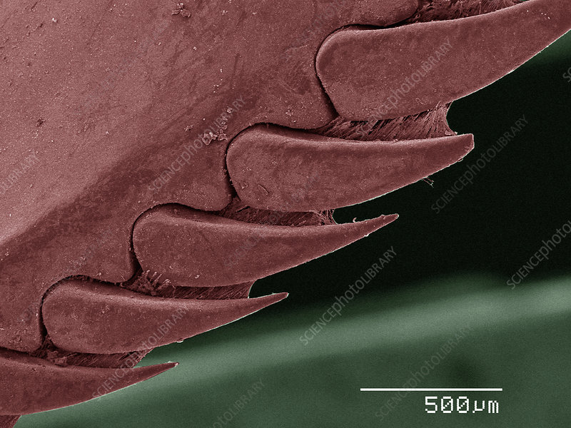 Coloured SEM of mantid shrimp spines