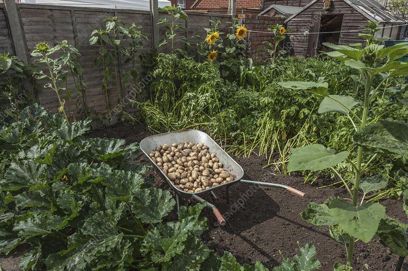 Wheelbarrow full of potatoes in garden