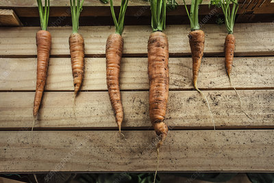 Harvested carrots in garden shed