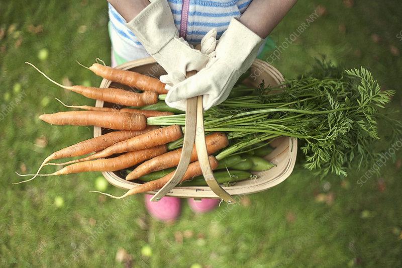 Garden trug of carrots