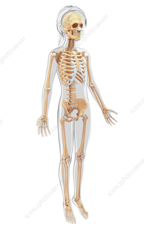 Human skeletal system, artwork