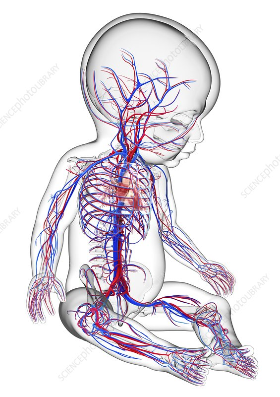 Baby's cardiovascular system, artwork