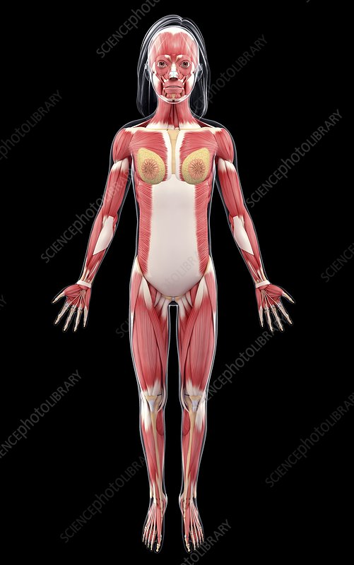 Female muscular system, artwork