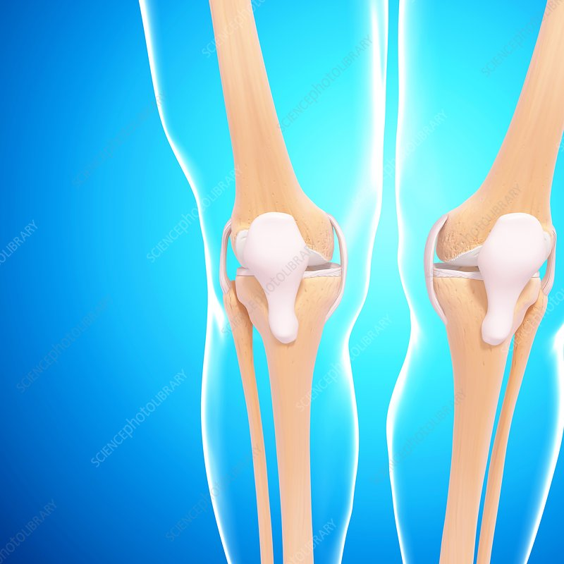 Human knee joints, artwork