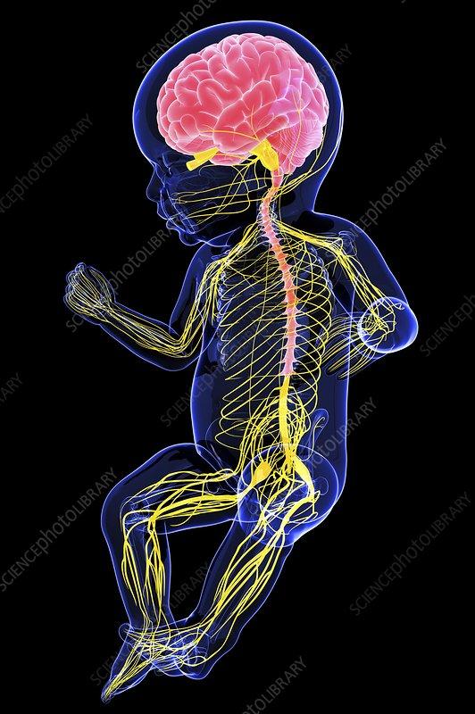 F Baby S Nervous System Artwork Spl
