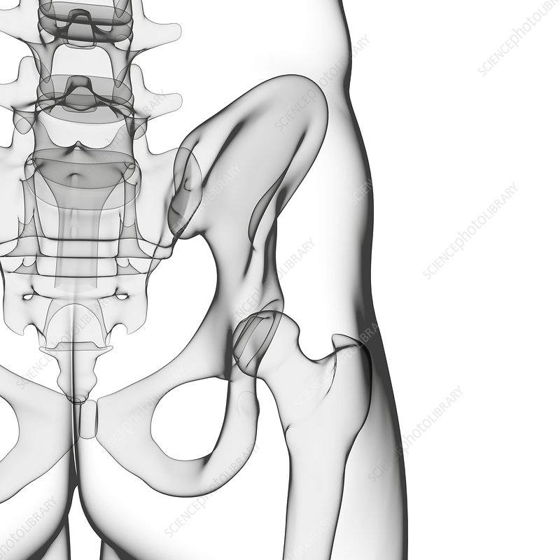 Human hip joint, artwork