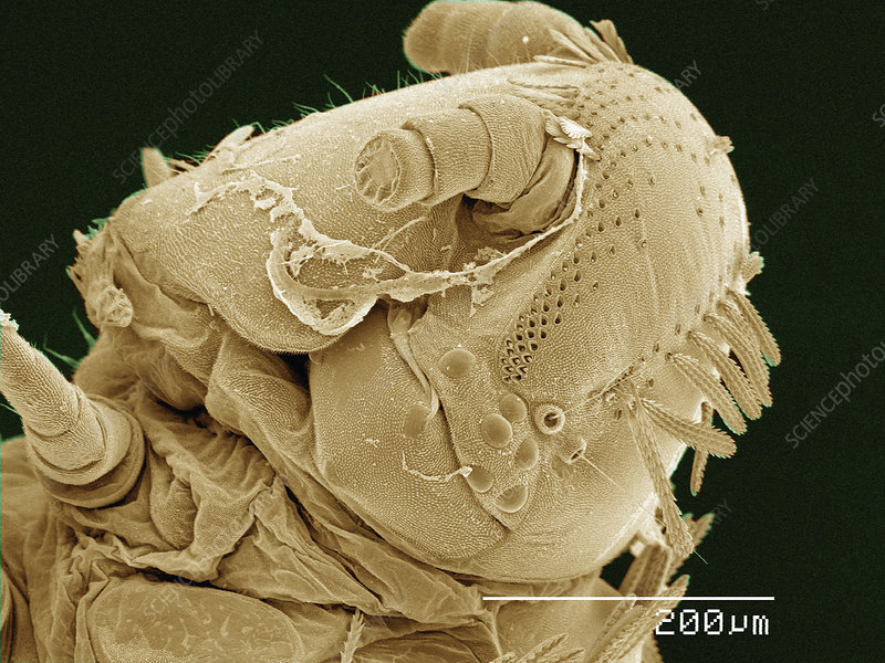 SEM of head of Polyxenus millipede