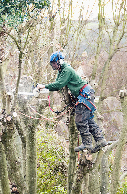 Tree surgeon working up a tree