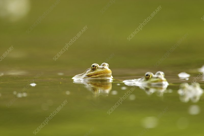 Mating frogs in water