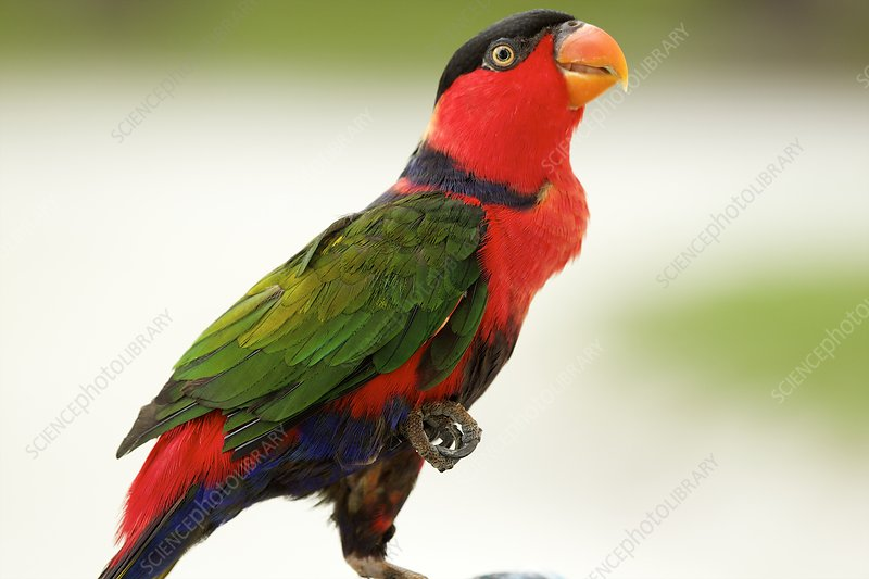 Black-capped Lory, Maldives
