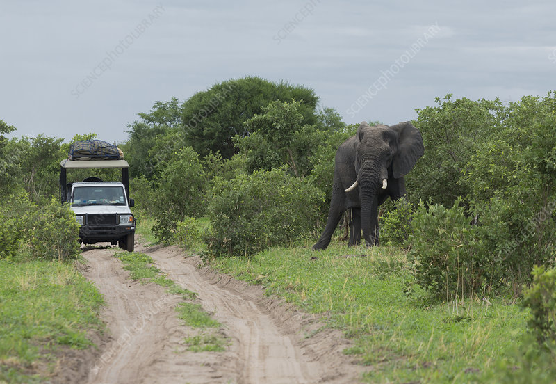 African elephant near safari jeep