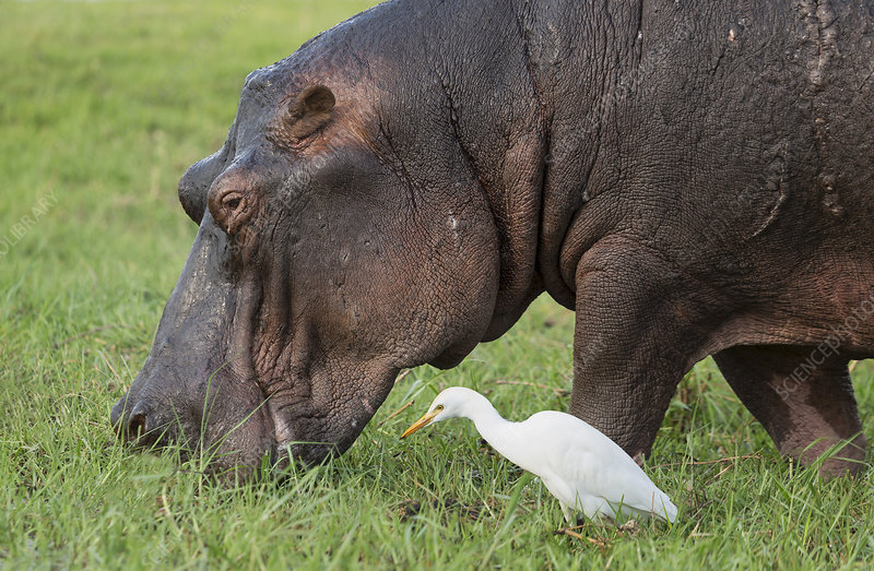 Hippo eating grass