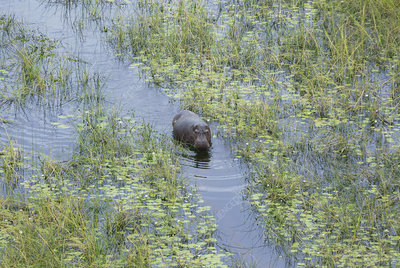 Hippo in a swamp channel
