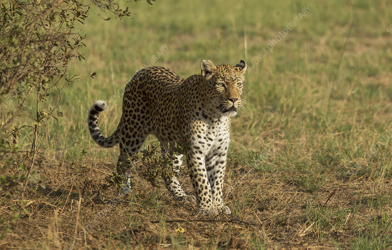 Hunting Leopard (Panthera pardus)