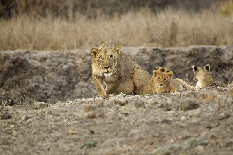 Protective lioness