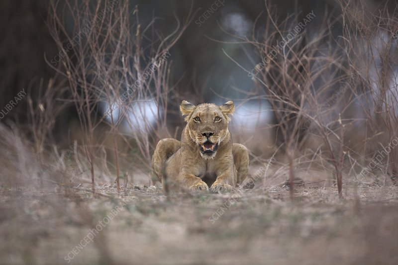 Lioness - Panthera leo - in evening light